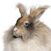 Close-up of English Angora rabbit in front of white background - stock photo