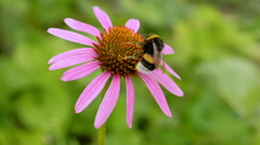 Bumblebee on a flower echinacea. Stock Footage