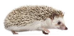 Four-toed Hedgehog, Atelerix albiventris, 6 months old, in front of white backgr - stock photo