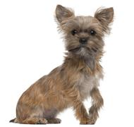 Mixed-breed dog, 7 months old, sitting in front of white background - stock photo