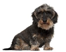 Dachshund, 8 years old, sitting in front of white background - stock photo