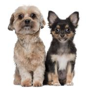 Shih Tzu and Chihuahua, 5 years old and 3 months old, sitting in front of white  Stock Photos
