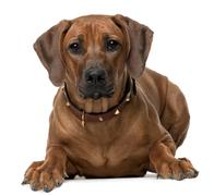 Rhodesian Ridgeback puppy, 7 months old, lying in front of white background Stock Photos