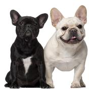 Two French Bulldogs, 18 months old, in front of white background - stock photo