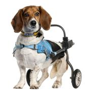 Paralyzed handicapped Basset Artésien Normand dog, 8 years old, in front of whi - stock photo