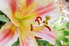 Closeup pistil of Blooming Lilium Stock Photos