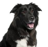 Close-up of Border Collie, 5 years old, in front of white background Stock Photos