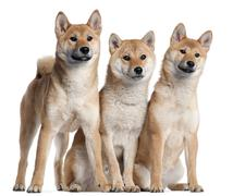 Three Shiba Inu puppies, 6 months old, in front of white background - stock photo