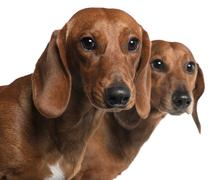 Close-up of Dachshunds, 4 years old and 7 months old, in front of white backgrou - stock photo