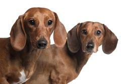Close-up of Dachshunds, 4 years old and 7 months old, in front of white backgrou Stock Photos