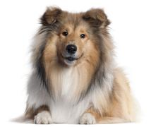 Scotch Collie, 9 months old, lying in front of white background Stock Photos