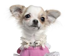 Close-up of Chihuahua puppy in pink dress, 6 months old, in front of white backg Stock Photos