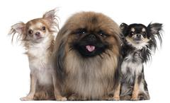 Two Chihuahuas, 3 years old and 10 months old, and a Pekingese, 2 years old, in  - stock photo