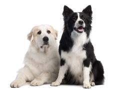 Great Pyrenees, 6 years old, and Border Collie, 2 years old, in front of white b - stock photo