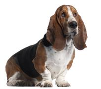 Basset Hound, 3 years old, sitting in front of white background Stock Photos