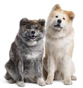 Akita Inu, 7 years old and 4 years old, sitting in front of white background Stock Photos