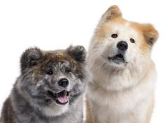 Close-up of Akita Inu, 7 years old and 4 years old, in front of white background - stock photo