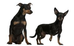 Miniature Pinscher, 7  years old, and German Pinscher, 4 years old, in front of  Stock Photos