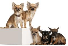 Five Chihuahuas, 1 year old, in front of white background - stock photo