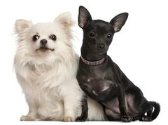 Chihuahuas, 8  years old and 7 months old, sitting in front of white background - stock photo
