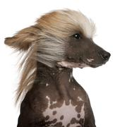 Close-up of Chinese Crested Dog with hair in the wind, 7 years old, in front of  - stock photo