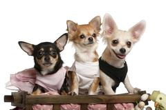 Three Chihuahuas, 1 year old, 8 months old, and 5 months old, sitting in dog bed Stock Photos