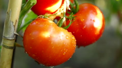 Organic Tomatoes In My Garden, After Rain, Reed Stake Stock Footage