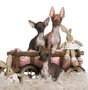 Three Chihuahuas, 6 and 7 months old, with dog bed wagon and Easter stuffed anim - stock photo