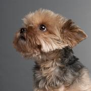 Close-up of Yorkshire Terrier, 7 years old, in front of grey background - stock photo