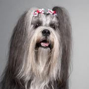 Close-up of Lhasa Apso wearing hairbows, 2 years old, in front of grey backgroun - stock photo