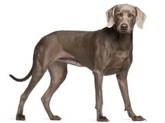 Weimaraner, 12 months old, standing in front of white background Stock Photos
