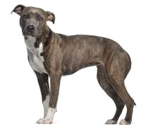 American Staffordshire Terrier, 8 months old, standing in front of white backgro Stock Photos