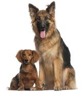 Dachshund, 8 years old, and German Shepherd Dog, 2 and a half years old, sitting - stock photo
