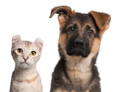 German Shepherd puppy, 3 months old and a American Curl kitten, 7 months old, in - stock photo