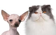 Hairless Chihuahua, 5 months old and a Persian cat, 9 years old, in front of whi Kuvituskuvat
