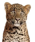 Close-up of Leopard, Panthera pardus, 6 months old, in front of white background Stock Photos