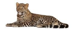 Leopard, Panthera pardus, 6 months old, lying in front of white background Kuvituskuvat