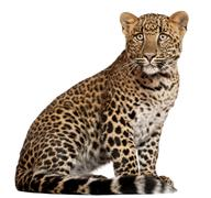 Leopard, Panthera pardus, 6 months old, sitting in front of white background - stock photo
