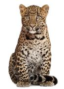 Leopard, Panthera pardus, 6 months old, sitting in front of white background Stock Photos