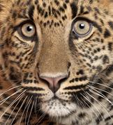 Close-up of Leopard, Panthera pardus, 6 months old Stock Photos