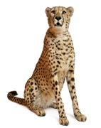 Cheetah, Acinonyx jubatus, 18 months old, sitting in front of white background Stock Photos