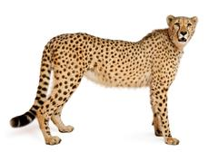 Cheetah, Acinonyx jubatus, 18 months old, standing in front of white background Stock Photos