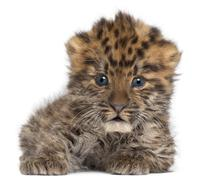 Amur leopard cub, Panthera pardus orientalis, 6 weeks old, in front of white bac Stock Photos