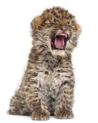 Amur leopard cub yawning, Panthera pardus orientalis, 6 weeks old, in front of w Stock Photos