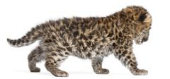 Amur leopard cub walking, Panthera pardus orientalis, 6 weeks old, in front of w Stock Photos