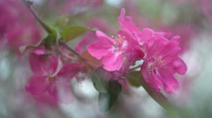 Closeup of blooming red apple branch shaking in the wind on blur background. Stock Footage