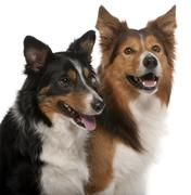 Close-up of Male Border Collie, 7 years old, Female Border Collie, 3 years old,  Stock Photos