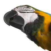 Close-up of Blue-and-Yellow Macaw, Ara ararauna, 16 months old, in front of whit - stock photo