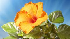 Orange Hibiscus Flower blooming In Time-Lapse Stock Footage