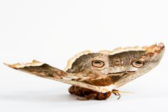 Beautiful giant silk moth butterfly Stock Photos